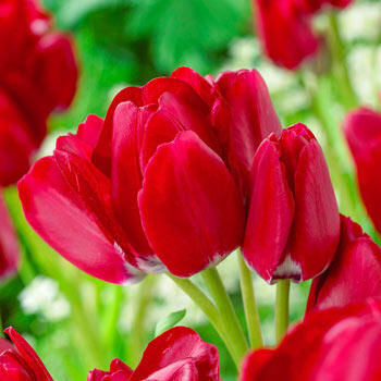 Fiery Club Tulip