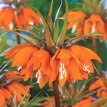 Sunset Crown Imperial