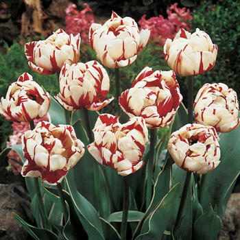 Carnaval de Nice Tulip