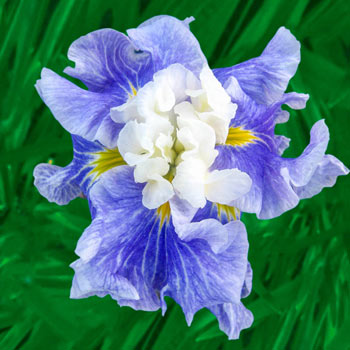 Sugar Dome Japanese Iris