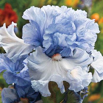 Farfalla Crepuscolare Bearded Iris