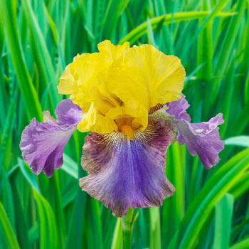 La Traviata Bearded Iris