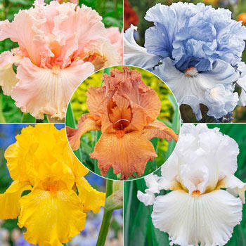 Solidly Colourful Bearded Iris Collection