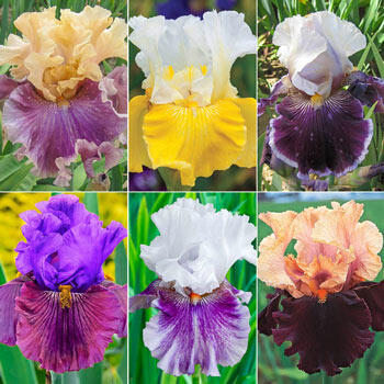 Two-Tone Bearded Iris Collection