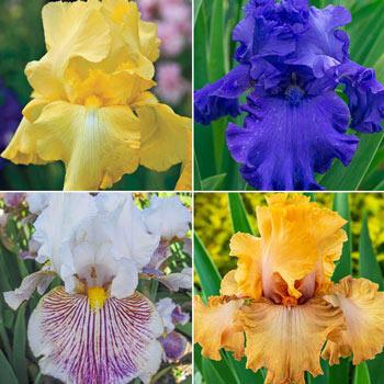 Fragrant Bearded Iris Collection