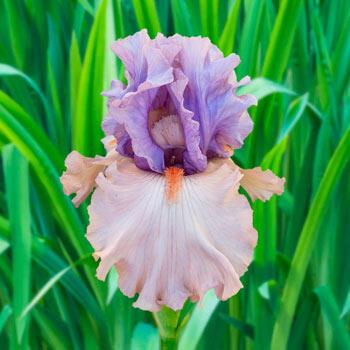 La Scala Bearded Iris