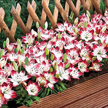 Sugar Baby Carpet Border Lily<sup>™</sup>