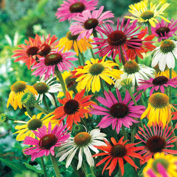 Butterfly Hybrids Coneflower Mixture