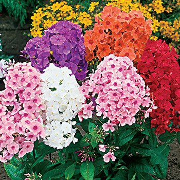 Tall Hybrid Phlox Mixture