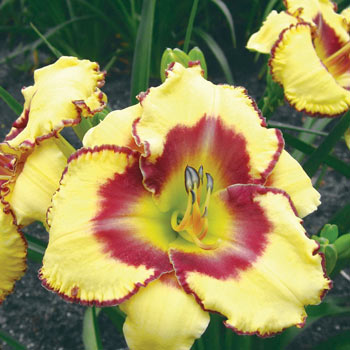Jamaican Me Crazy Daylily