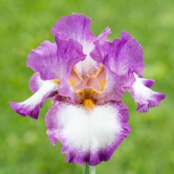 Footloose Bearded Iris