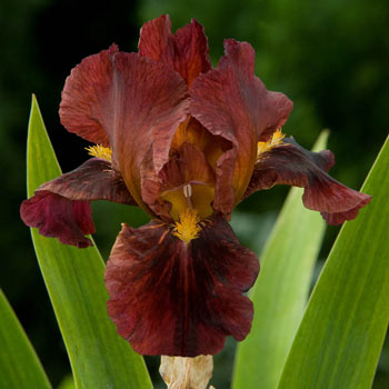 Ruby Mine Bearded Iris
