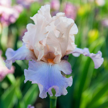 Chasing Rainbows Bearded Iris