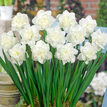 Easter Born Daffodil