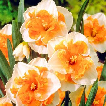Love Call Daffodil