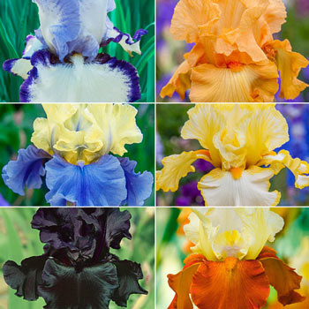 Breck's<sup>®</sup> Showtime Bearded Iris Collection