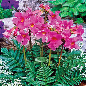 Flowering Fern™