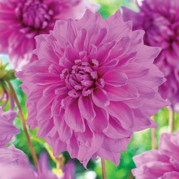 Lavender Perfection Dahlia
