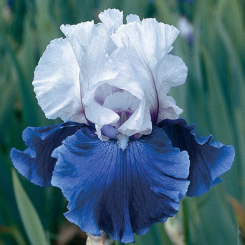Mariposa Skies Tall Bearded Reblooming Iris