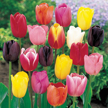 Mixed Tulips Super Bag