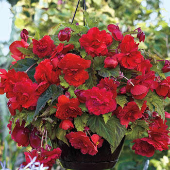 Wow!<sup>™</sup> Hanging Begonia