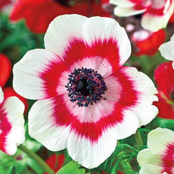 Ring of Fire Poppy Anemone