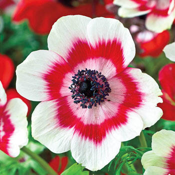 Poppy Anemone Ring of Fire