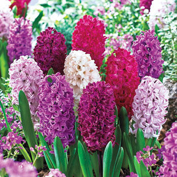Monet Hyacinth Mixture