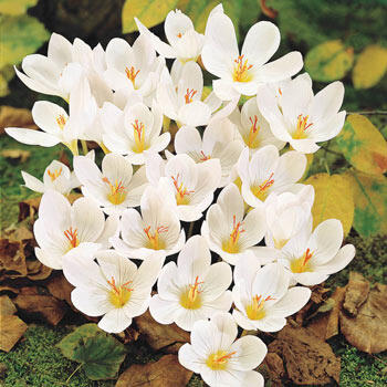 Fall White Crocus
