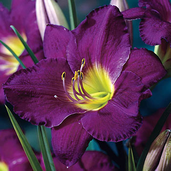 Purple d'Oro Reblooming Daylily