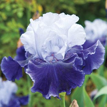 World Premier Bearded Iris