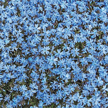 Blue Emerald Carpet Phlox