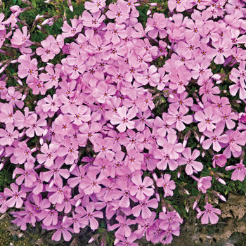 Emerald Pink Carpet Phlox
