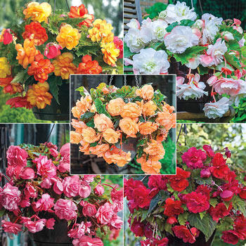 Hanging Basket Begonia Collection