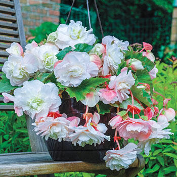 Begonia Angelique Hanging Basket Begonia