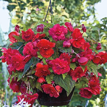 Red Glory Fragrant Hanging Basket Begonia