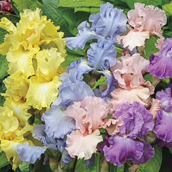 Pastel Bearded Iris Mixture