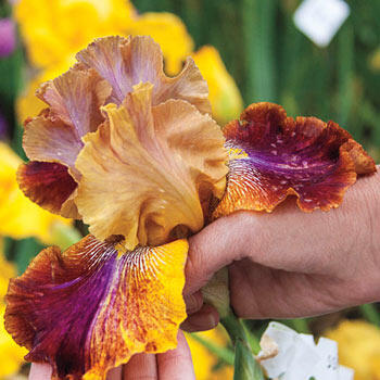 Gone Wild! Bearded Iris