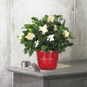 Holiday Gardenia Basket