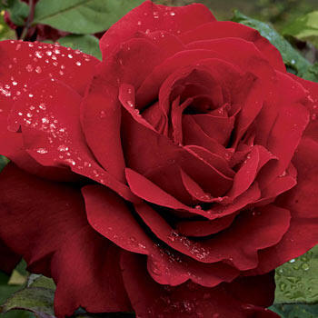 Legends Hybrid Tea Rose