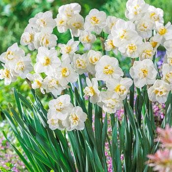 Fragrant Gardenia Daffodil (Cheerfulness)