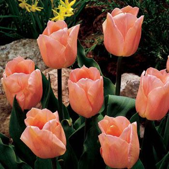 Single Early Tulip Apricot Beauty