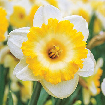 Large Cupped Daffodil Bright Sun