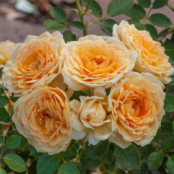 Edith's Darling™ Downton Abbey® Shrub Rose