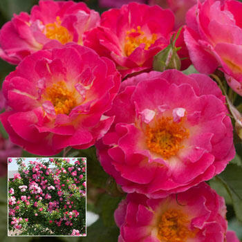 Cupid's Kisses™ Climbing Rose
