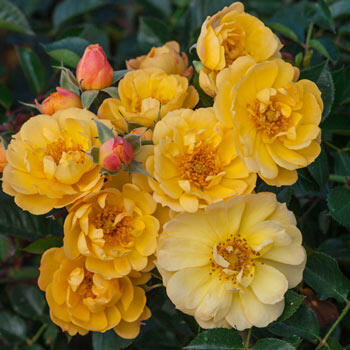 Sunshine Happy Trails™ Groundcover Rose