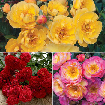 Happy Trails™ Groundcover Rose Duo