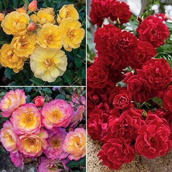 Groundcover Rose Trio