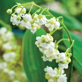 Double-Flowered Lily-of-the-Valley