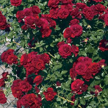 Valentine's Day Climbing Rose